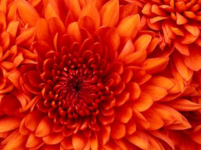 20110821113104-chrysanthemum.jpg